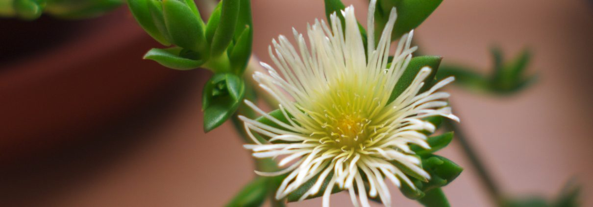 Kanna sceletium tortuosum: flower
